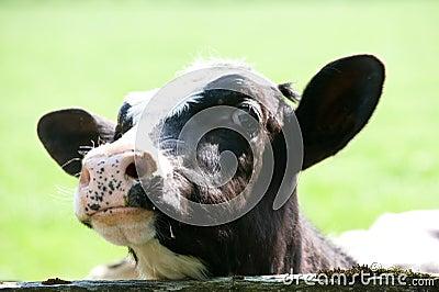 Curiosity cow