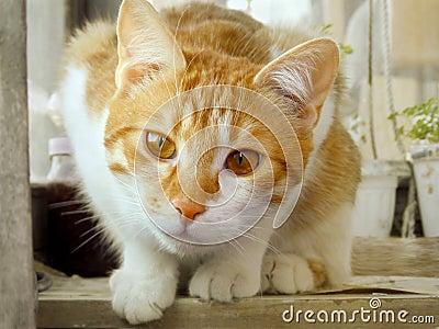 Curiosity rustic red cat, cat face