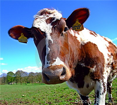 Curious Ayrshire Cow staring at the camera