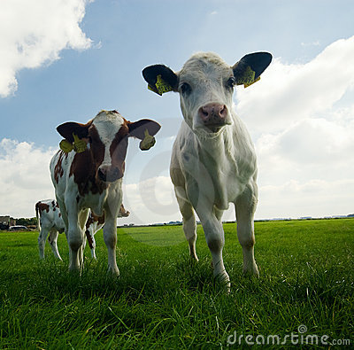 Curious baby cows
