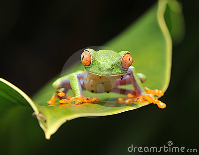 Curious baby red eyed green tree frog, costa rica