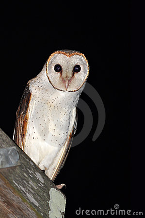A curious barn owl