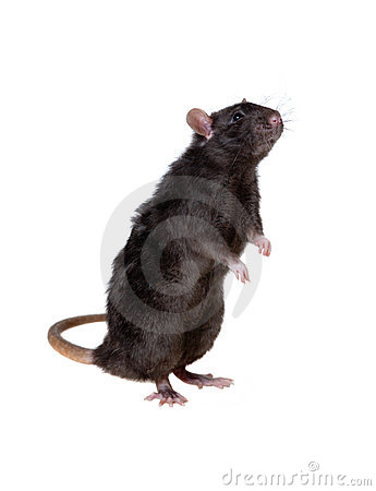 Curious black rat