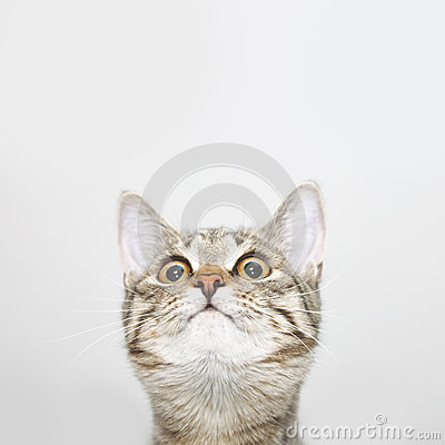 Free Curious Cat Face Looking Up Royalty Free Stock Images - 82241659