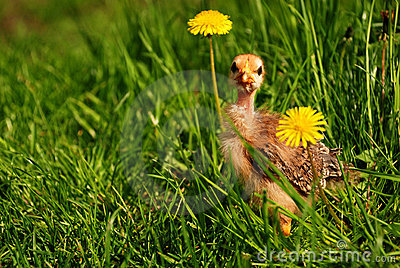 Curious chicken between dandelions on spring