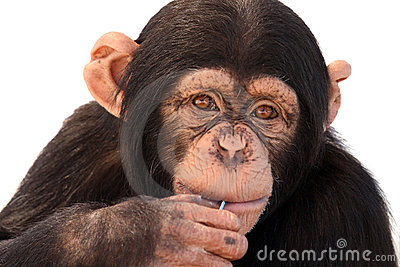Curious Chimpanzee