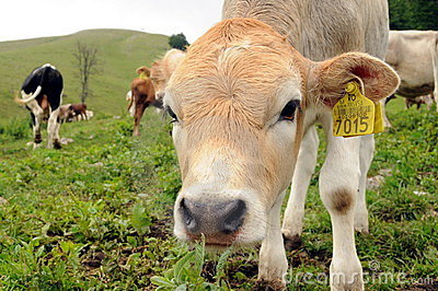 Curious cow calf