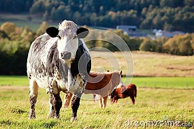 Curious cow