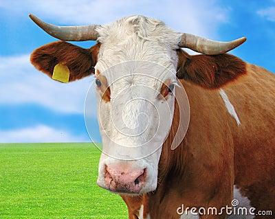Curious cow portrait