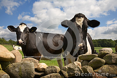 Curious cows look over wall
