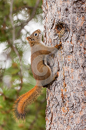 Free Curious Cute American Red Squirrel Climbing Tree Royalty Free Stock Photography - 25759747