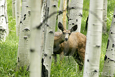 Curious deer in aspen forrest