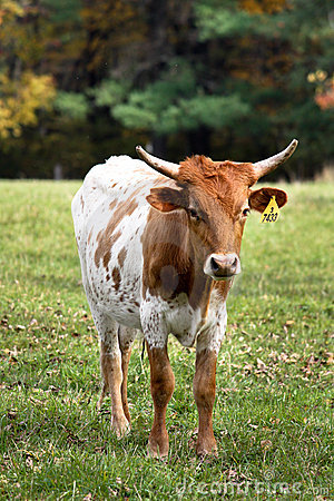 Curious farm bull
