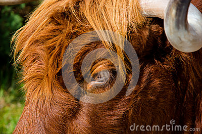 Curious glance of a highland cattle