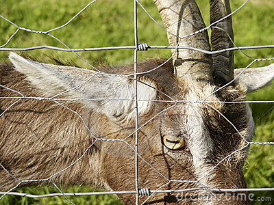 Curious Goat looking through fence.