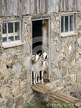 Free Curious Goats Stock Photos - 9652153