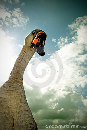 Free Curious Goose Stock Photography - 3258312