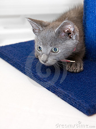 Curious grey kitten prepares to pounce