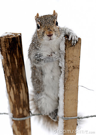 Free Curious Grey Squirrel In The Snow Royalty Free Stock Images - 8069429
