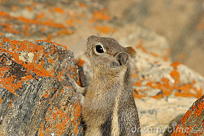 Curious ground squirrel in the Grand Canyon