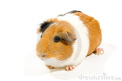 Guinea Pig Over White Background Stock Images - Image: 23410634