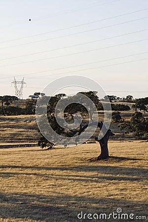 Curious holm oak tree