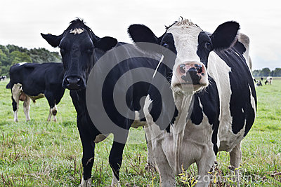 Curious Holstein cows