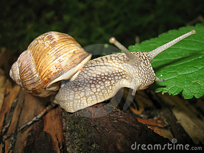 The curious horned snail crawling on a tree