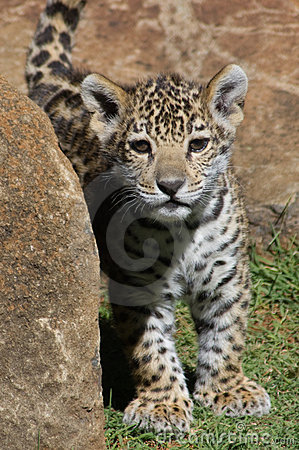 Curious jaguar cub