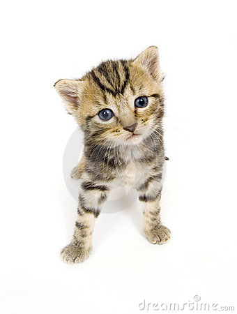 Free Curious Kitten On White Background Royalty Free Stock Image - 842046