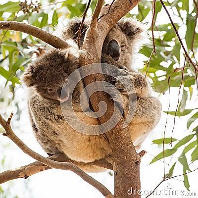 Free Curious Koala Baby With Sleepy Mummy, Kangaroo Island, Australia Royalty Free Stock Image - 132732896