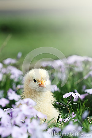 Free Curious Little Chick Royalty Free Stock Image - 28103436