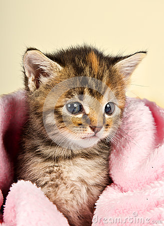 Curious little kitten in a pink blanket