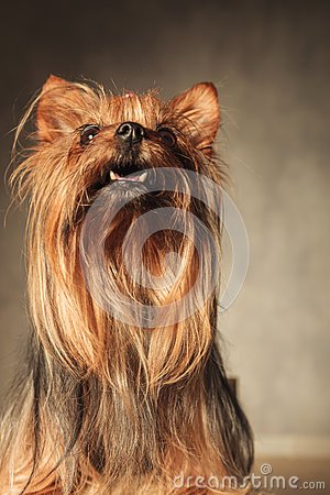 Free Curious Little Yorkshire Terrier Puppy Dog Looking Up Stock Photography - 56632092