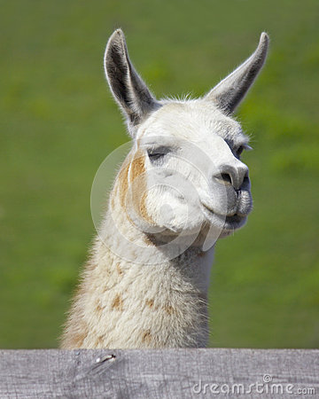 Free Curious Llama Stock Photos - 45700933