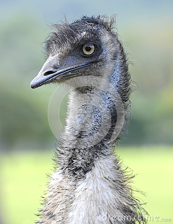 Free Curious Looking Australian Emu Bird, North Queensland, Australia Royalty Free Stock Photos - 34818308