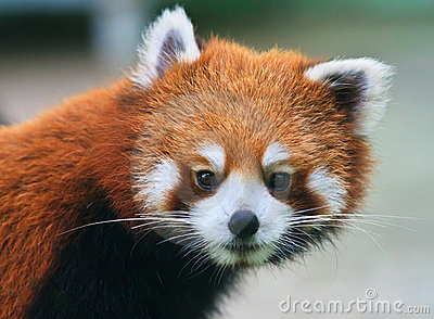 Curious looking red panda