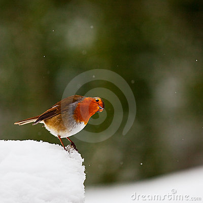 Free Curious Looking Robin In Snow Stock Photo - 13309430