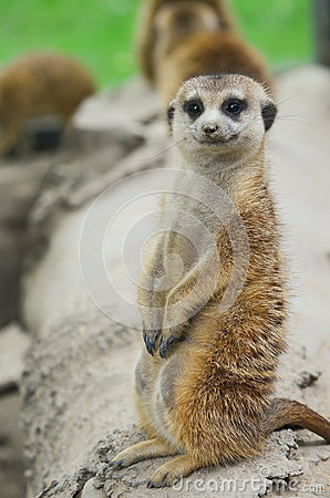 Free Curious Meercat Stock Photo - 40560540