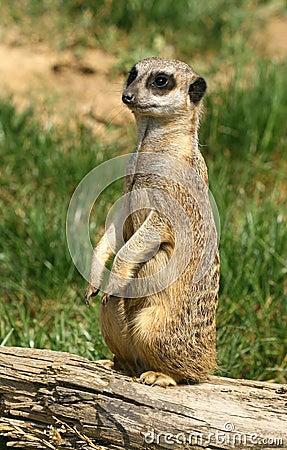 Free Curious Meerkat Stock Photo - 3310670