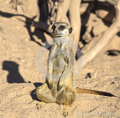 Free Curious Meerkat Stock Image - 75600781