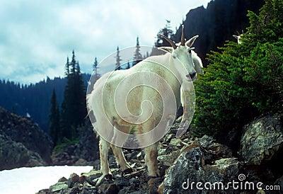 Curious Mountain goats,