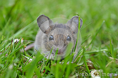 A curious mouse