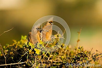 Curious mousebirds