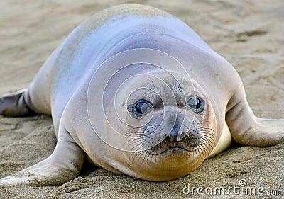 Elephant seal, new born pup or infant, big sur, california