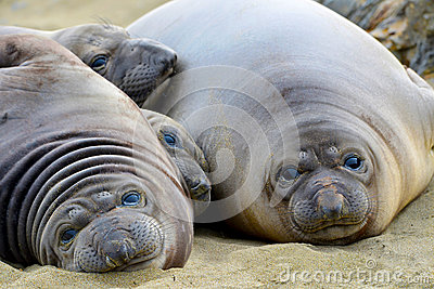 Elephant seal, new born pups or infants lying on sand looking ,