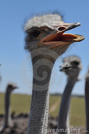 Free Curious Ostrich Stock Photos - 12536123