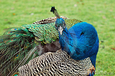 Curious peacock
