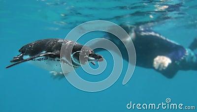 Curious Penguin and Snorkeler
