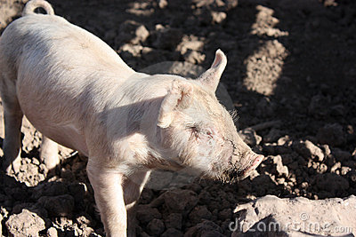 Curious piglet